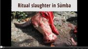 Video: ritual slaughter in Sumba