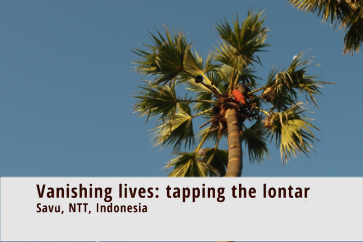 Vanishing lifestyles: tapping the lontar palm in Savu, Eastern Indonesia