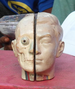 Anatomical model of head and face