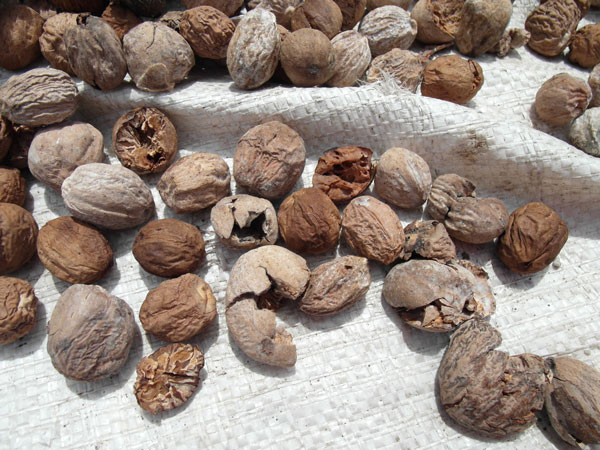 Nutmeg drying