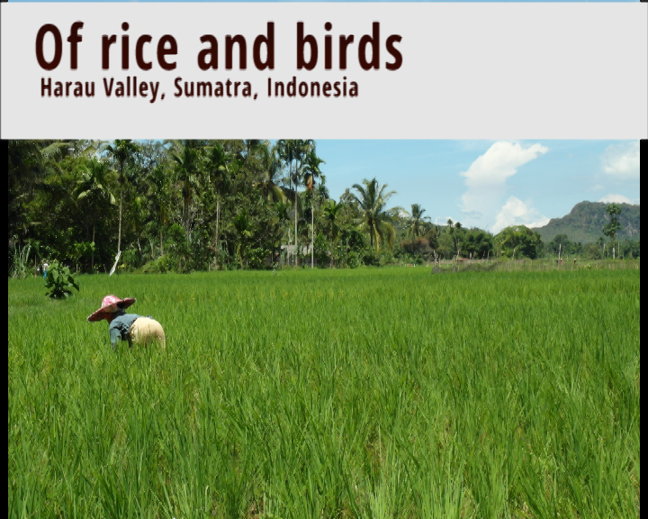 Growing rice in Indonesia, and defending the crop from birds